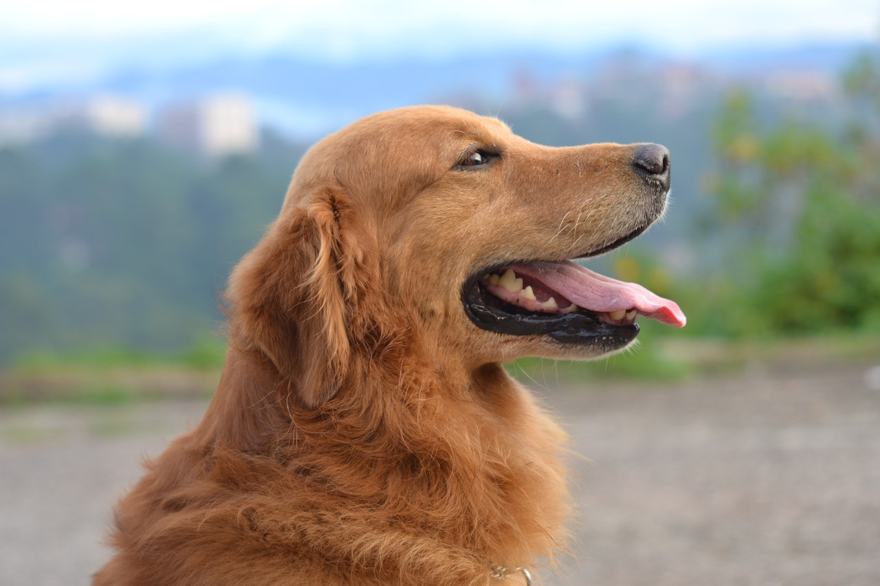 Golden retriever i naturen